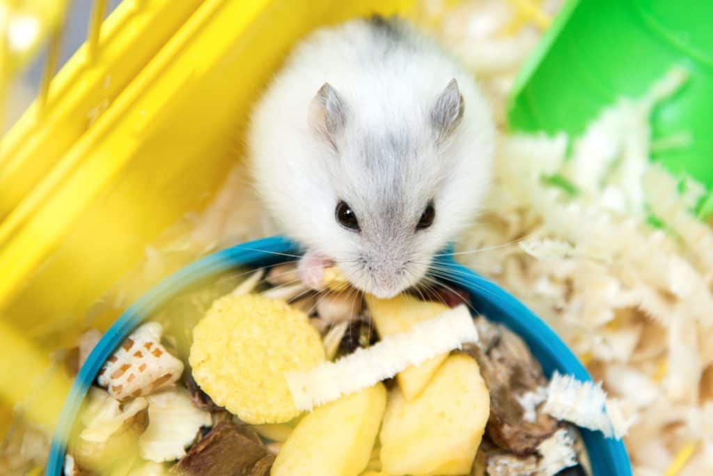 A cute little hamster eating a small piece of potato