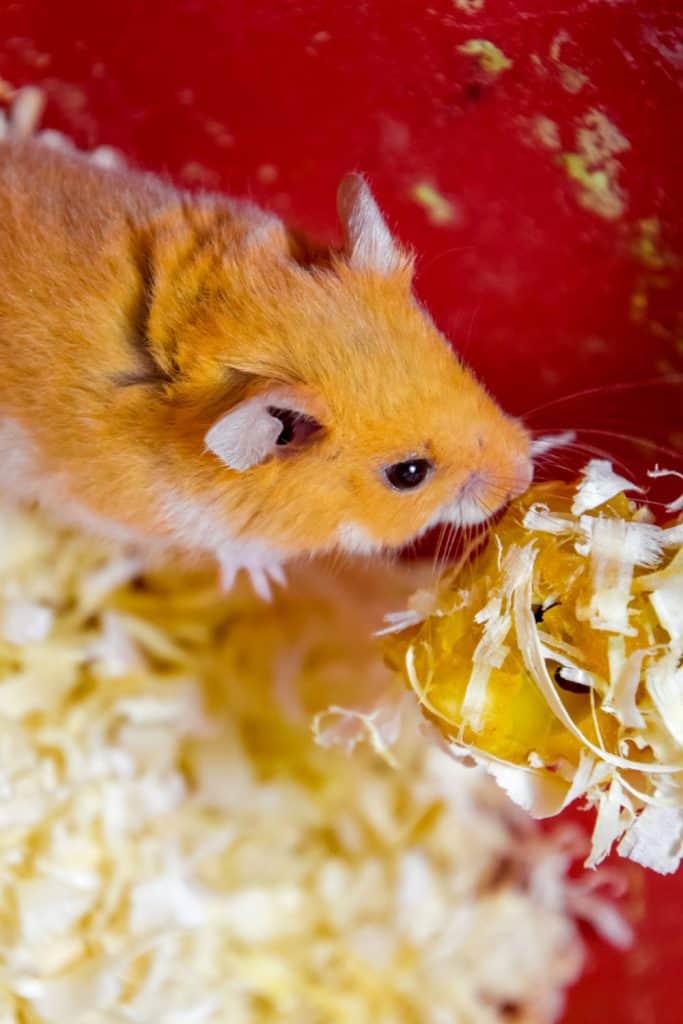 A cute orange colored hamster