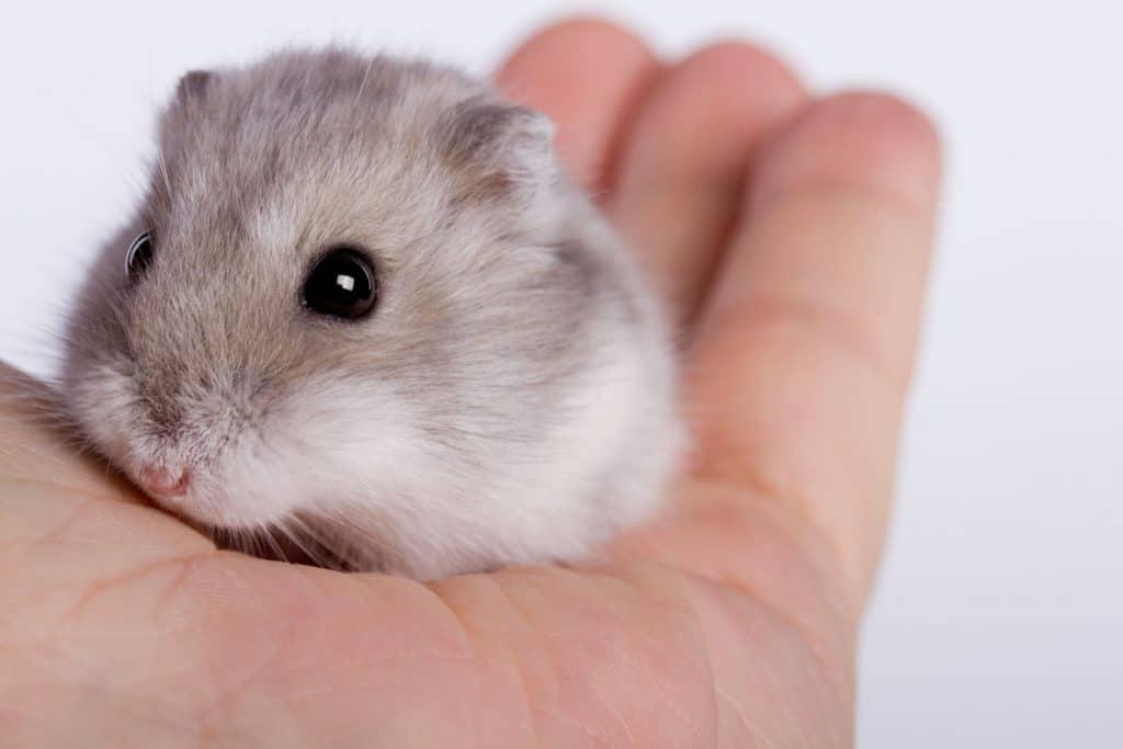 A man holding a cute little gray hamster