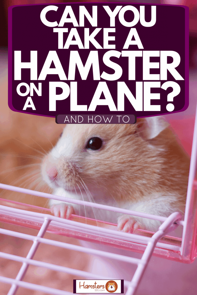 A cute little hamster lying inside his pink cage, Can You Take A Hamster On A Plane? [And How To]