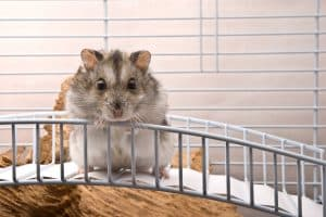 Read more about the article Hamster Not Using Wheel – What To Do?