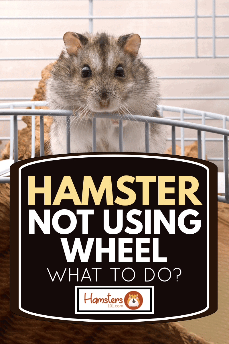Dwarf hamster looking in camera, Hamster Not Using Wheel - What To Do?