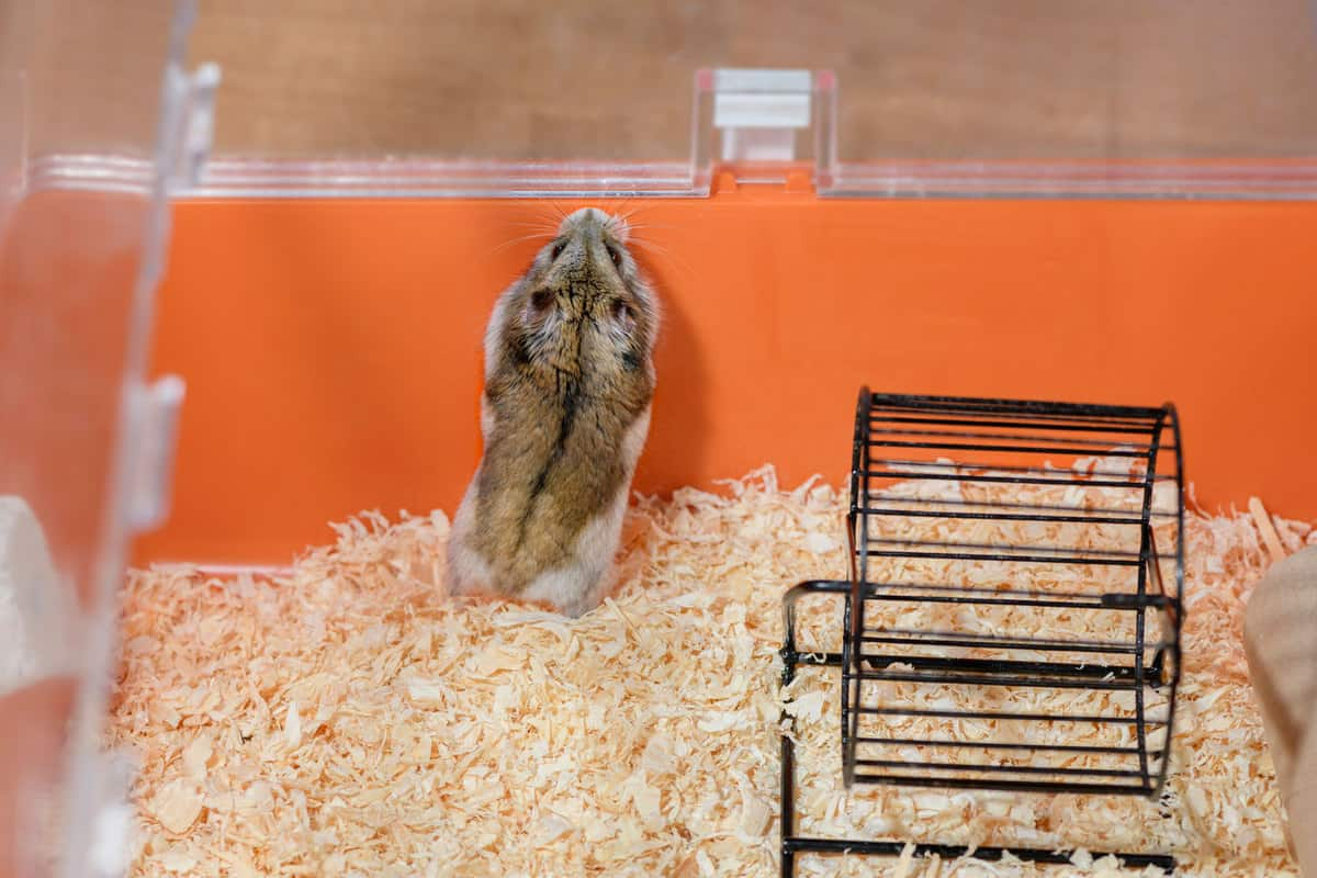 One adult female Djungarian hamster is standing on its hind legs in the plastic orange cage