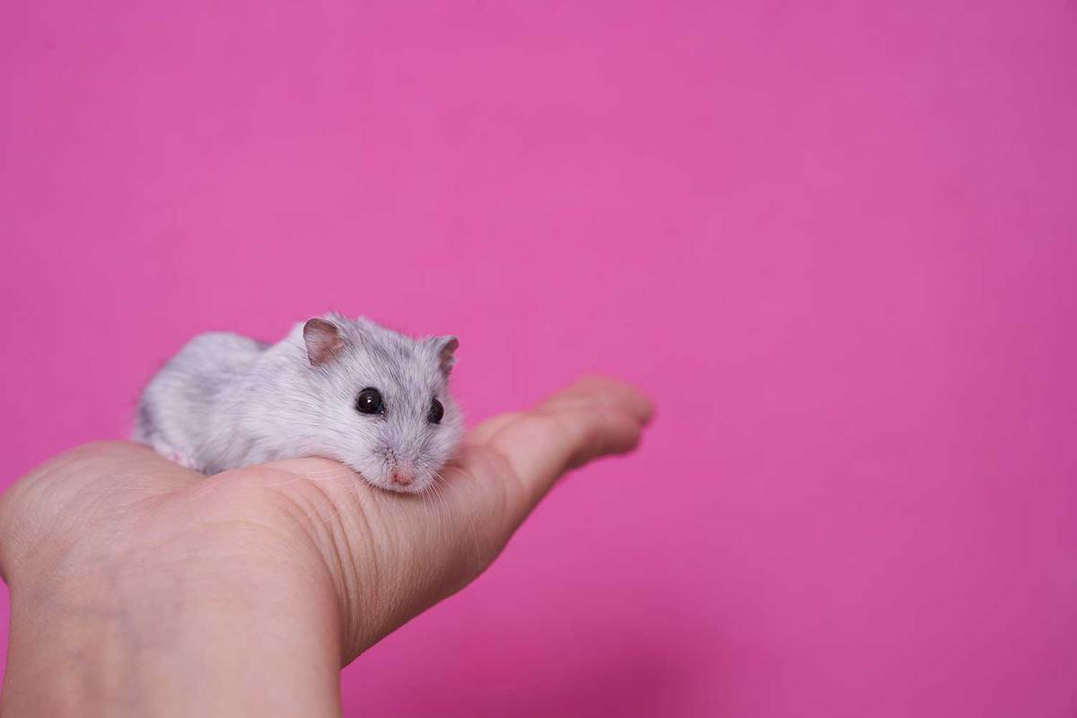 A hand holds a hamster on a pink background