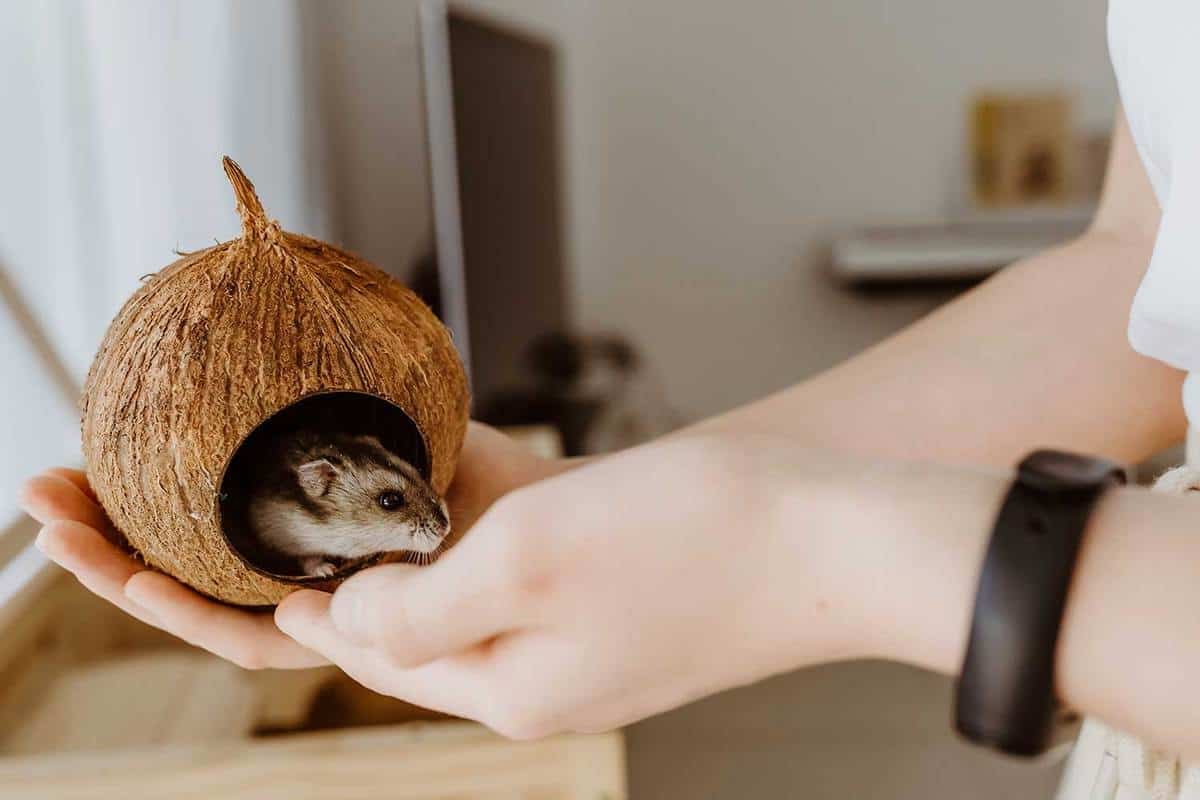 Child hands playing with little hamster pet holding it in coconut shell