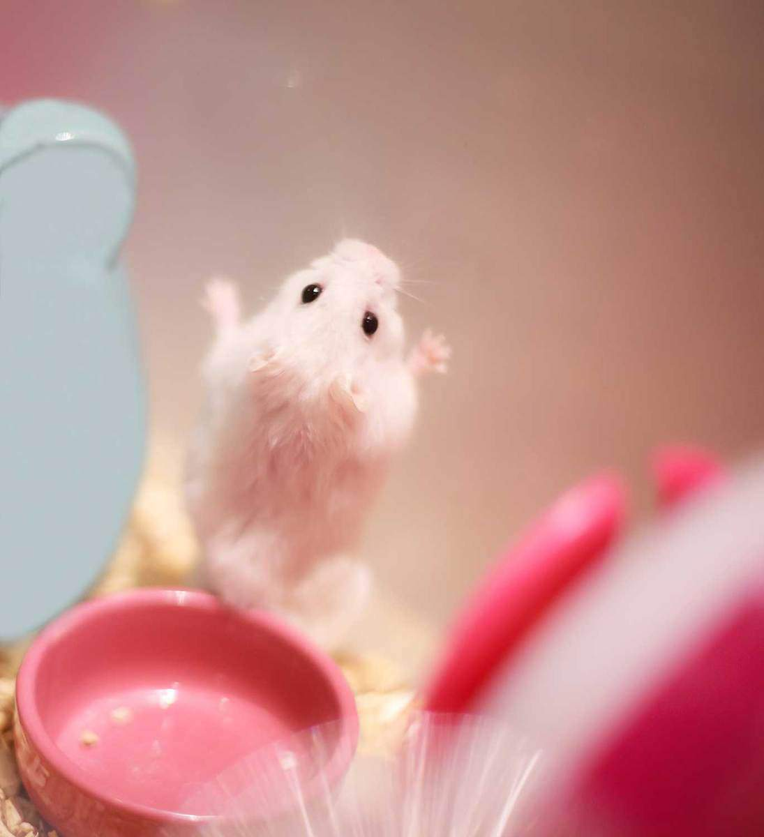 Cute winter white dwarf hamster standing on hind legs on the wall asking for pet food