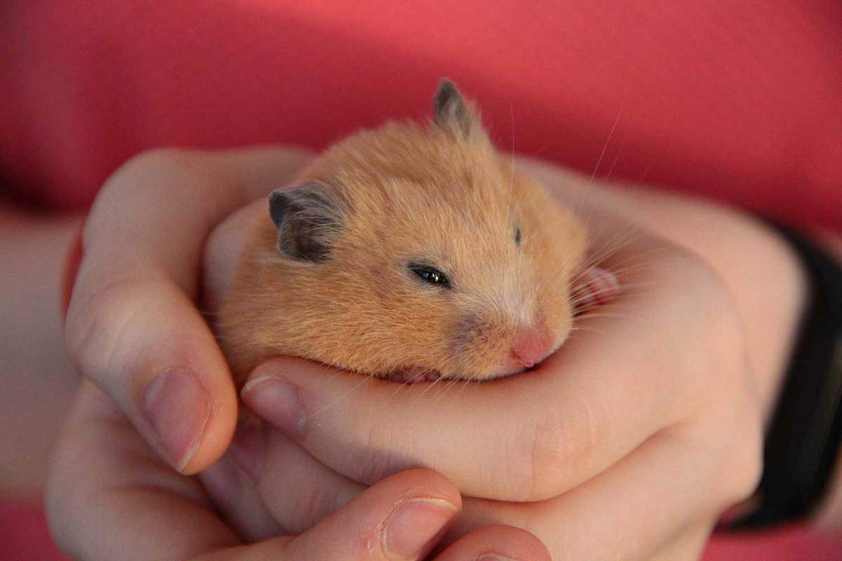 Girl holding a hamster in her hands