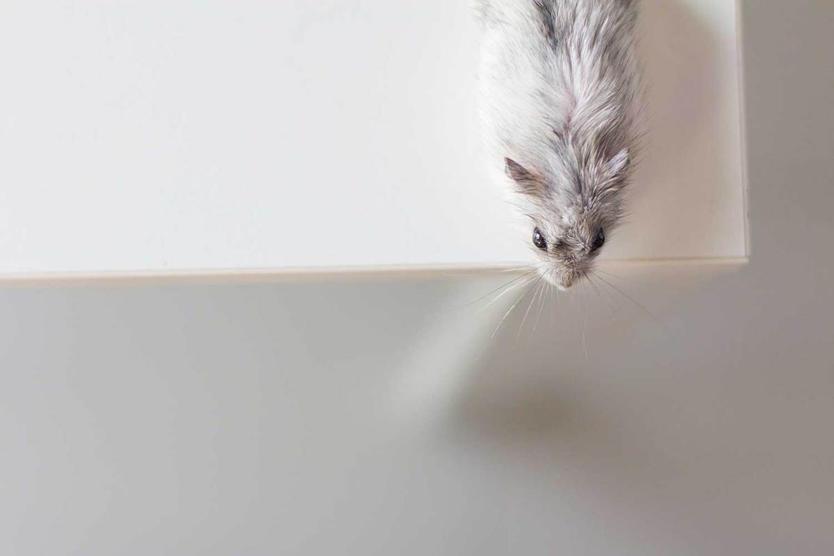 Hamster looking off table edge from above view