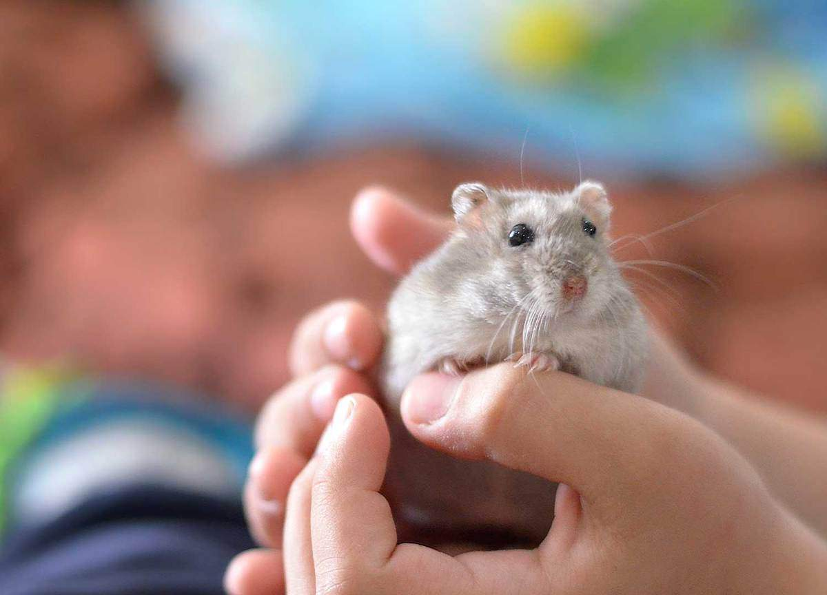 Kid holding a cute gray hamster